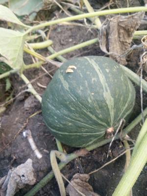 黑龙江省哈尔滨市松北区绿皮南瓜 2~4斤 其他