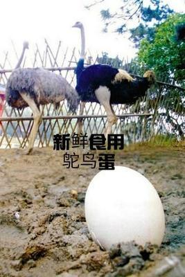 山东省济宁市市中区鲜鹅蛋 食用 散装