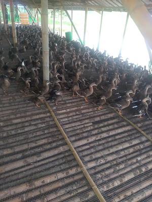 江西省赣州市于都县绿头鸭 2-3斤