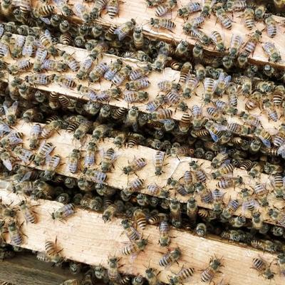 贵州省毕节市金沙县中华蜜蜂土蜜蜂
