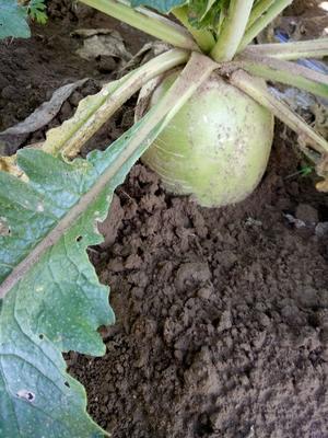 内蒙古自治区赤峰市翁牛特旗心里美萝卜 1.5~2斤