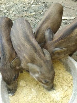 陕西省商洛市洛南县特种野猪 20-30斤 统货