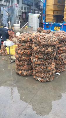 黄金扇贝 人工殖养 10-20只/公斤