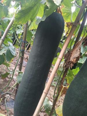 上海浦东新区黑皮冬瓜 15斤以上 黑皮