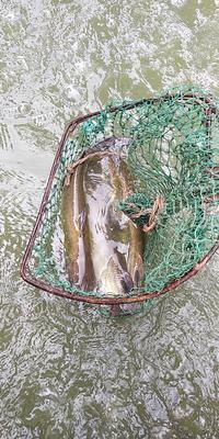 山东省聊城市茌平县加州鲈鱼 人工养殖 0.5公斤以下