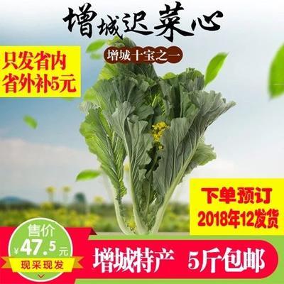 广东省广州市增城区迟菜心 10~15cm
