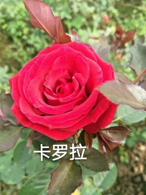 云南省昆明市呈贡区食用玫瑰丰花一号