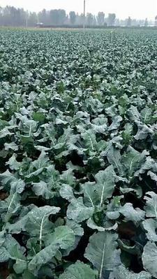 河南省平顶山市郏县耐寒优秀西兰花 1.2~1.5斤 10~15cm