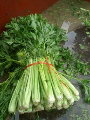 吉林省四平市梨树县美国西芹 55~60cm 露天种植 1.0~1.5斤