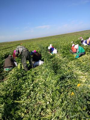 河北省张家口市尚义县西芹 60cm以上 露天种植 0.5斤以下