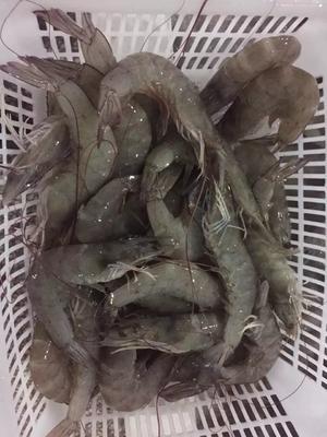 河北省廊坊市三河市南美对虾 野生 3-5钱