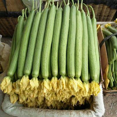 山东省潍坊市寿光市鲜花丝瓜 50cm以上