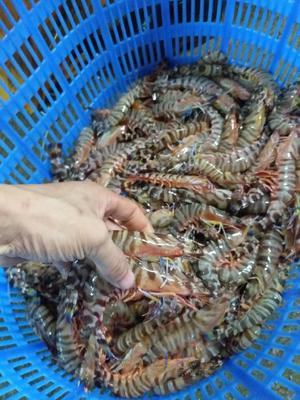 广东省深圳市罗湖区斑节对虾 野生 7-9钱