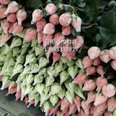 山东省日照市莒县红玫瑰