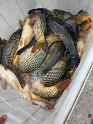 四川省乐山市市中区池塘鲤鱼 人工养殖 1-2.5公斤