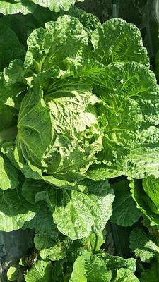 黑龙江省齐齐哈尔市梅里斯达斡尔族区玲珑黄白菜 6~10斤 毛菜