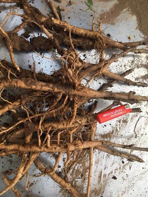 安徽省亳州市谯城区油用牡丹种苗 2cm以下 4cm以下 0.5米以下