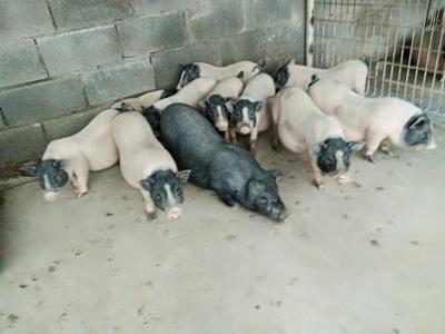 辽宁省大连市普兰店市巴马香猪 20-40斤