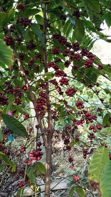 海南省海南省澄迈县福山地区咖啡