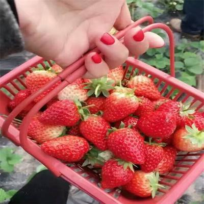 全明星草莓苗 地栽苗 10~20公分