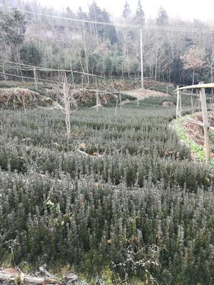 四川省绵阳市北川羌族自治县曼地亚红豆杉 0.5米以下
