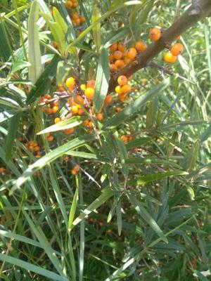 山西省忻州市原平市沙棘果 橙黄色