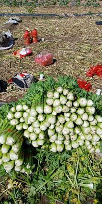 甘肃省定西市安定区西芹 60cm以上 露天种植 1.0~1.5斤