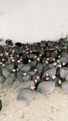 山东省菏泽市郓城县银斑珍珠鸡 2-4斤