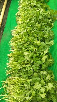 黑龙江省绥化市北林区小叶香菜 25~30cm
