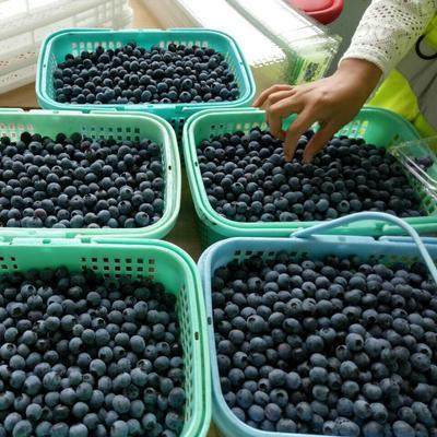 江苏省苏州市昆山市兔眼蓝莓 冻果 10 - 12mm以上