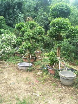 广西壮族自治区桂林市阳朔县大红三角梅 1.0~1.5米