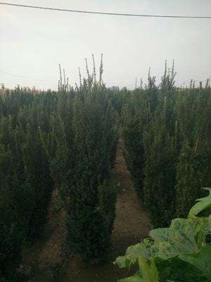 山东省莱芜市莱城区曼地亚红豆杉 2.0~2.5米