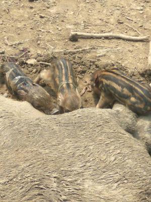 河南省鹤壁市淇县特种野猪 20-30斤 母
