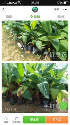 广东省清远市英德市红蕉苗