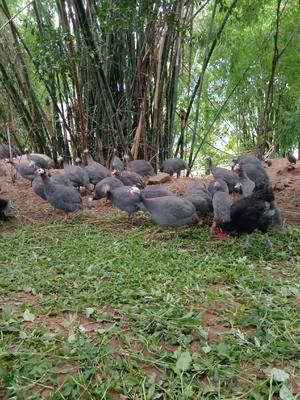 四川省宜宾市南溪区灰色珍珠鸡 2-4斤