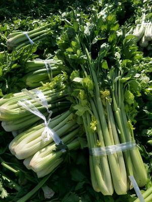 宁夏回族自治区固原市西吉县宁夏西芹 40~45cm 露天种植 3.0斤以上