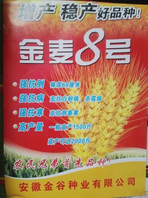 河南省商丘市永城市小麦种子
