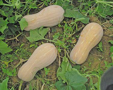 重庆武隆县蜜本南瓜 6~10斤 长条形