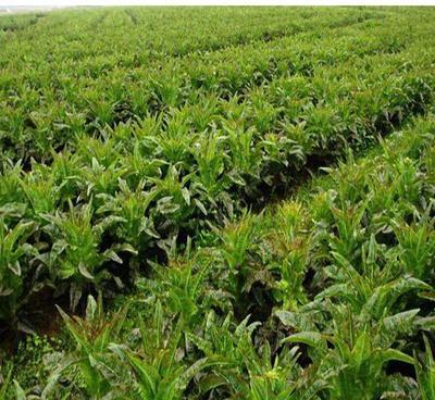 甘肃省定西市安定区紫叶莴笋 12cm以下 0.3~0.5斤