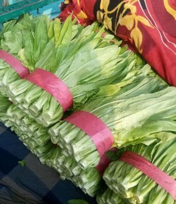 河北省邯郸市丛台区美冠油麦菜 25~30cm以上