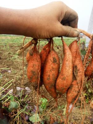 广西壮族自治区来宾市兴宾区桂薯10 0.5-1斤