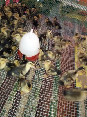 广西壮族自治区钦州市浦北县青头鸭 3-5斤