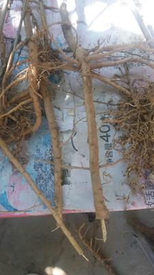 山西省运城市绛县油用牡丹种苗 2cm以下 4cm以下 0.5~1米