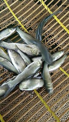 广东省佛山市三水区淡水青鱼 人工养殖 0.05公斤
