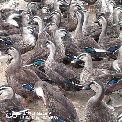 安徽省池州市东至县斑嘴鸭 2-3斤