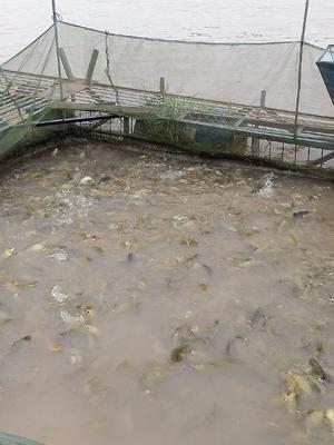 广西壮族自治区贵港市桂平市丁桂鱼 人工养殖 0.5-3公斤