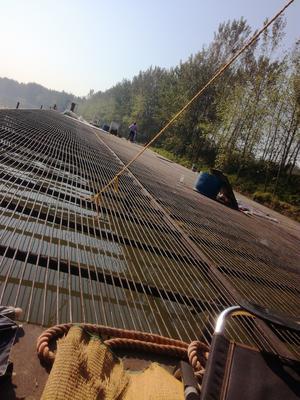 河南省周口市项城市网箱草鱼 人工养殖 1.5-3公斤