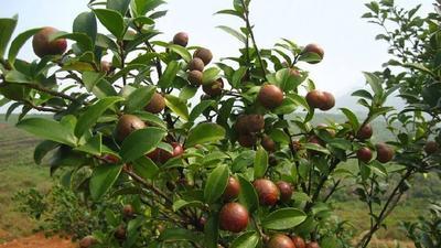 安徽省合肥市蜀山区野山茶籽