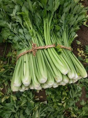 新疆维吾尔自治区乌鲁木齐市乌鲁木齐县西芹 55~60cm 露天种植 1.0~1.5斤