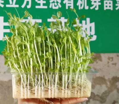 贵州省贵阳市白云区豌豆苗